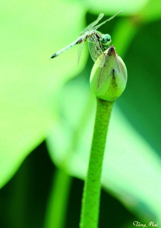 Sen không hề bị ong bướm vào hút nhụy, chỉ có chuồn chuồn tinh khiết đến đậu thôi - Photo: TốngMai